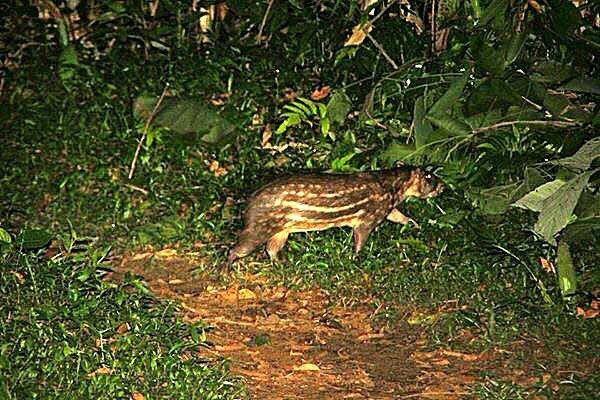 Belize Jungle Paca Gibnut Cockscomb Basin Wildlife Sanctuary Jaguar Reserve