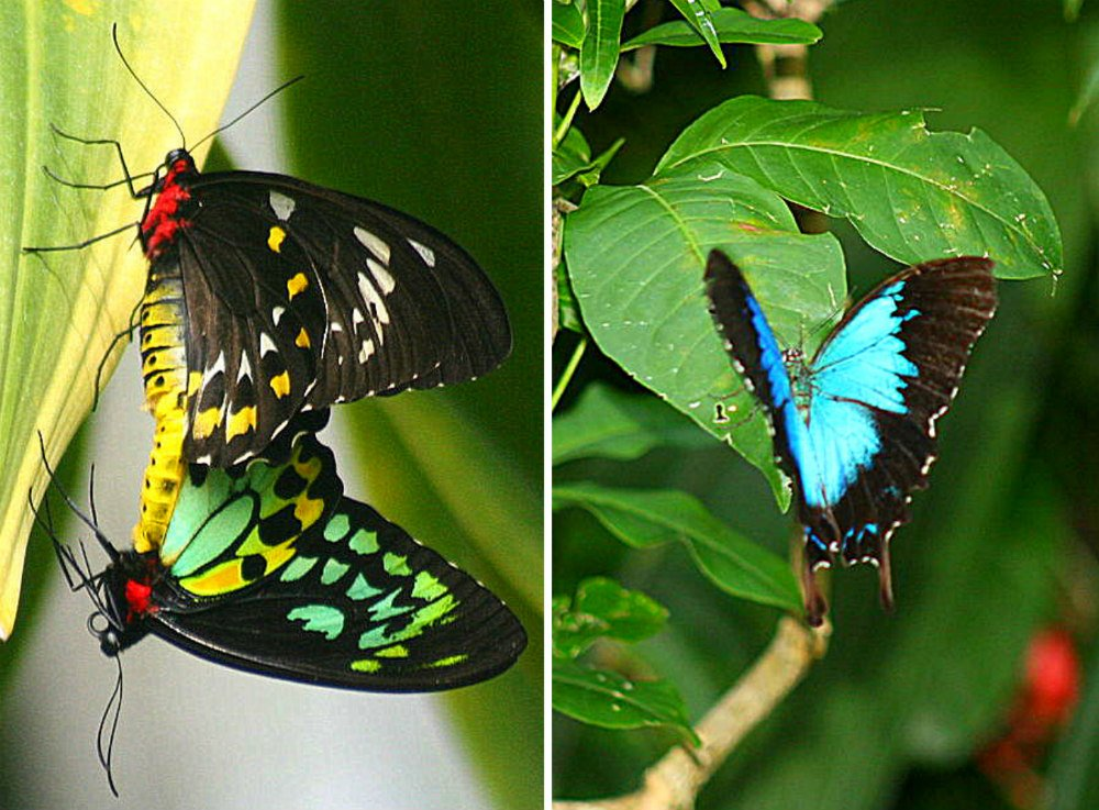 things to do in Kuranda Village in a Rainforest - Birdwing and Ulysses butterfly at Australian Butterfly Sanctuary